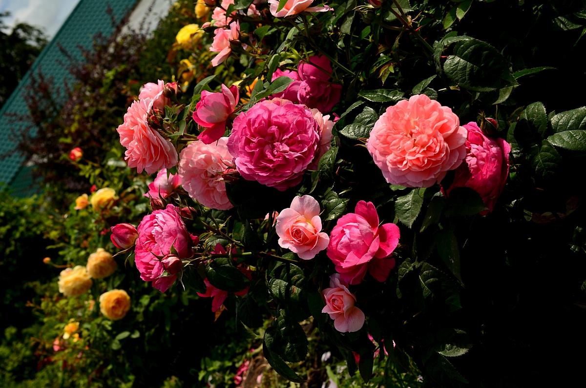 Русская кустовая роза