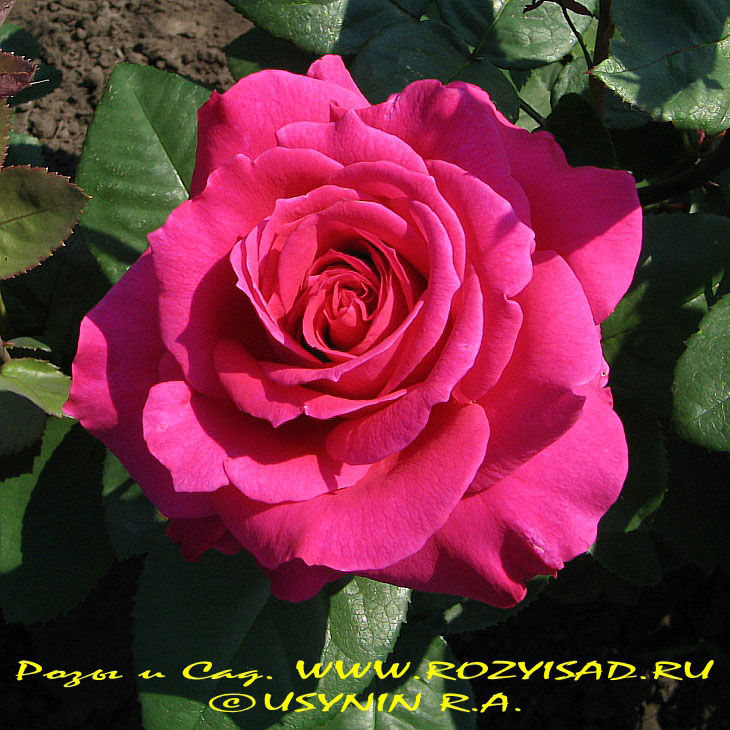 Розы и Сад (фото розы, розы открытки, цветы розы открытки ...