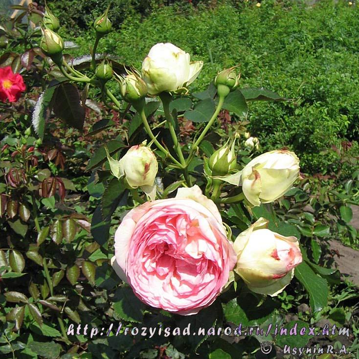 Белые цветы фото названия