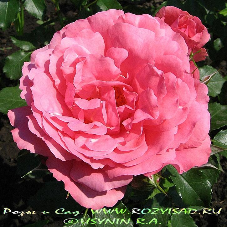 открытки розы: