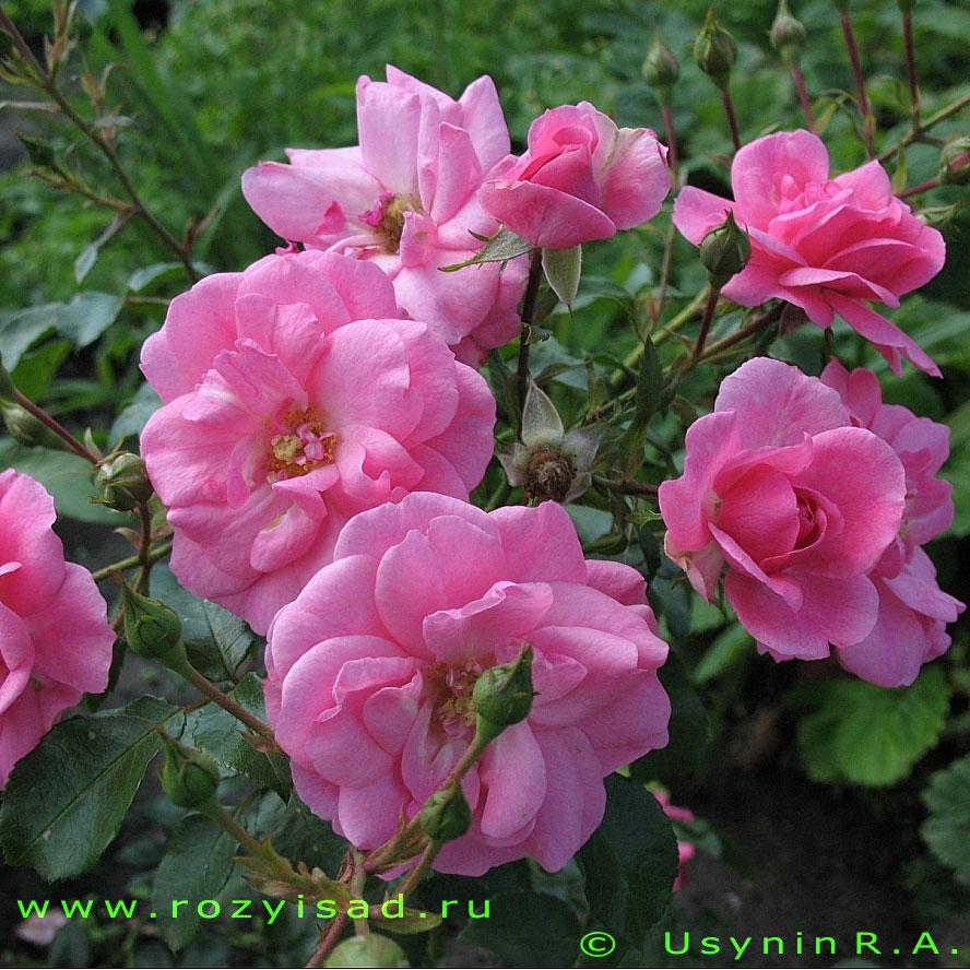 Розы флорибунда заказать