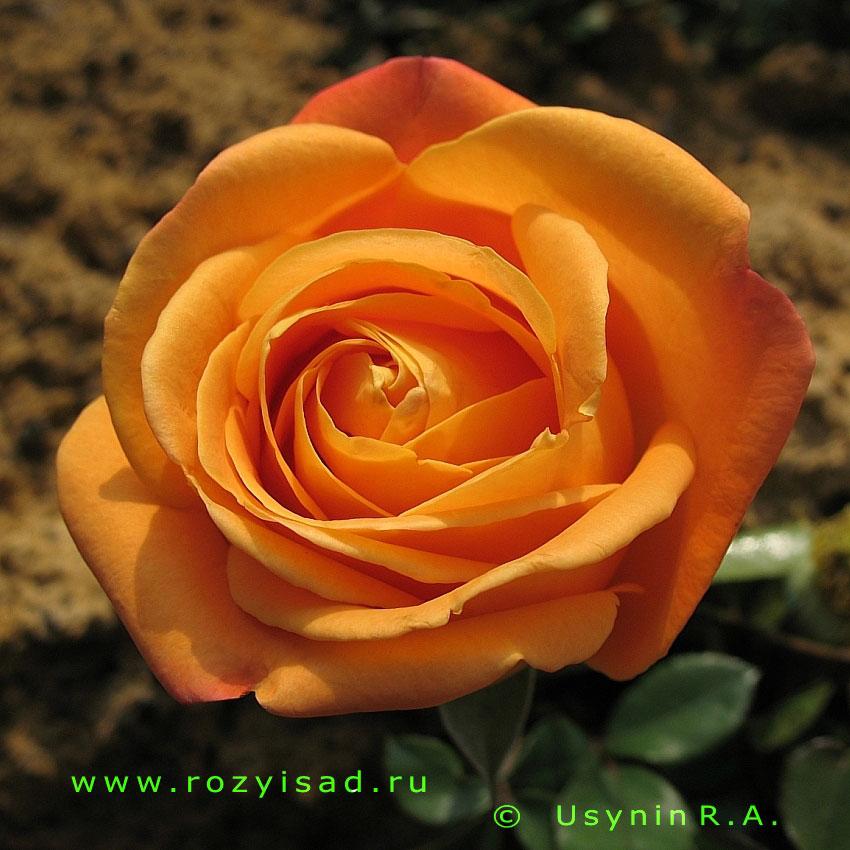 Розы Киев саженцы роз купить саженцы роз в Киеве