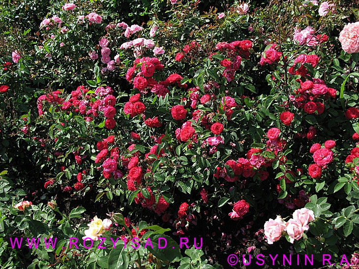 Розы и сад 2007 1 2 3 4 5 6