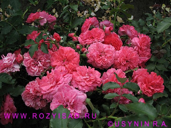 открытки цветы розы: