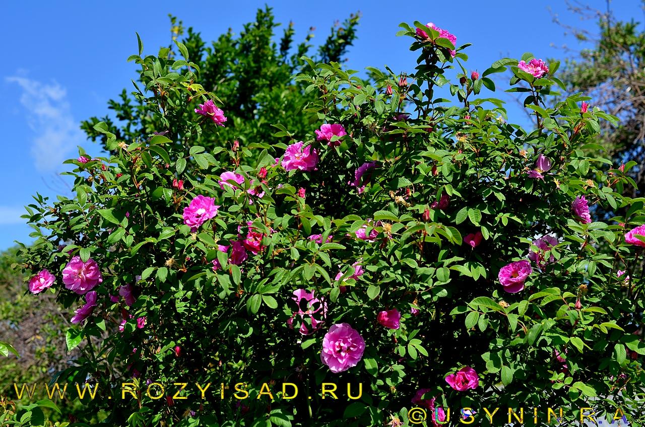 'Крокус' английская кустовая роза.