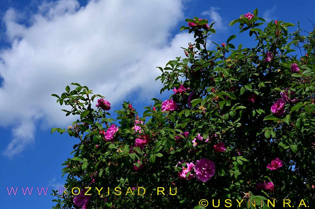 'Тереза Багнет' канадская парковая роза.