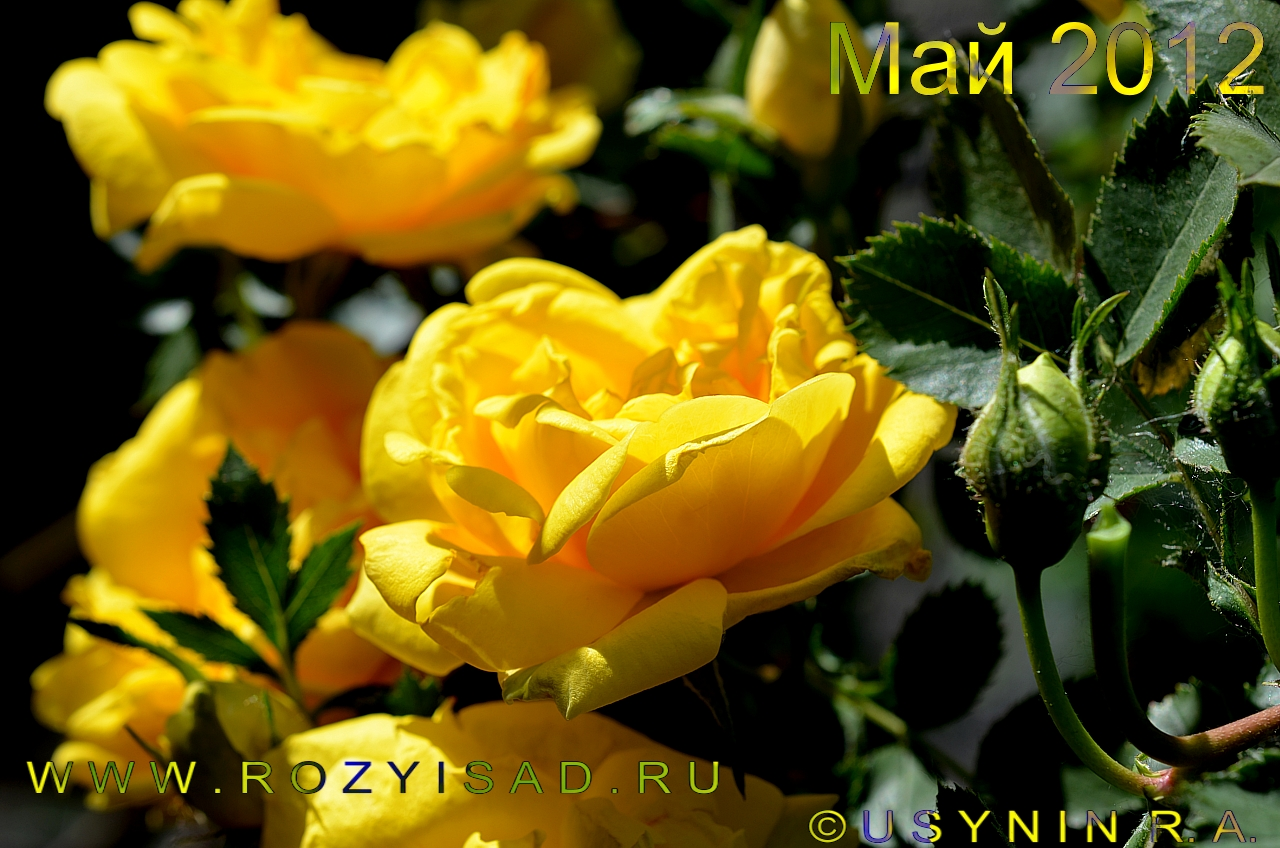 'Персиана' парковая роза.