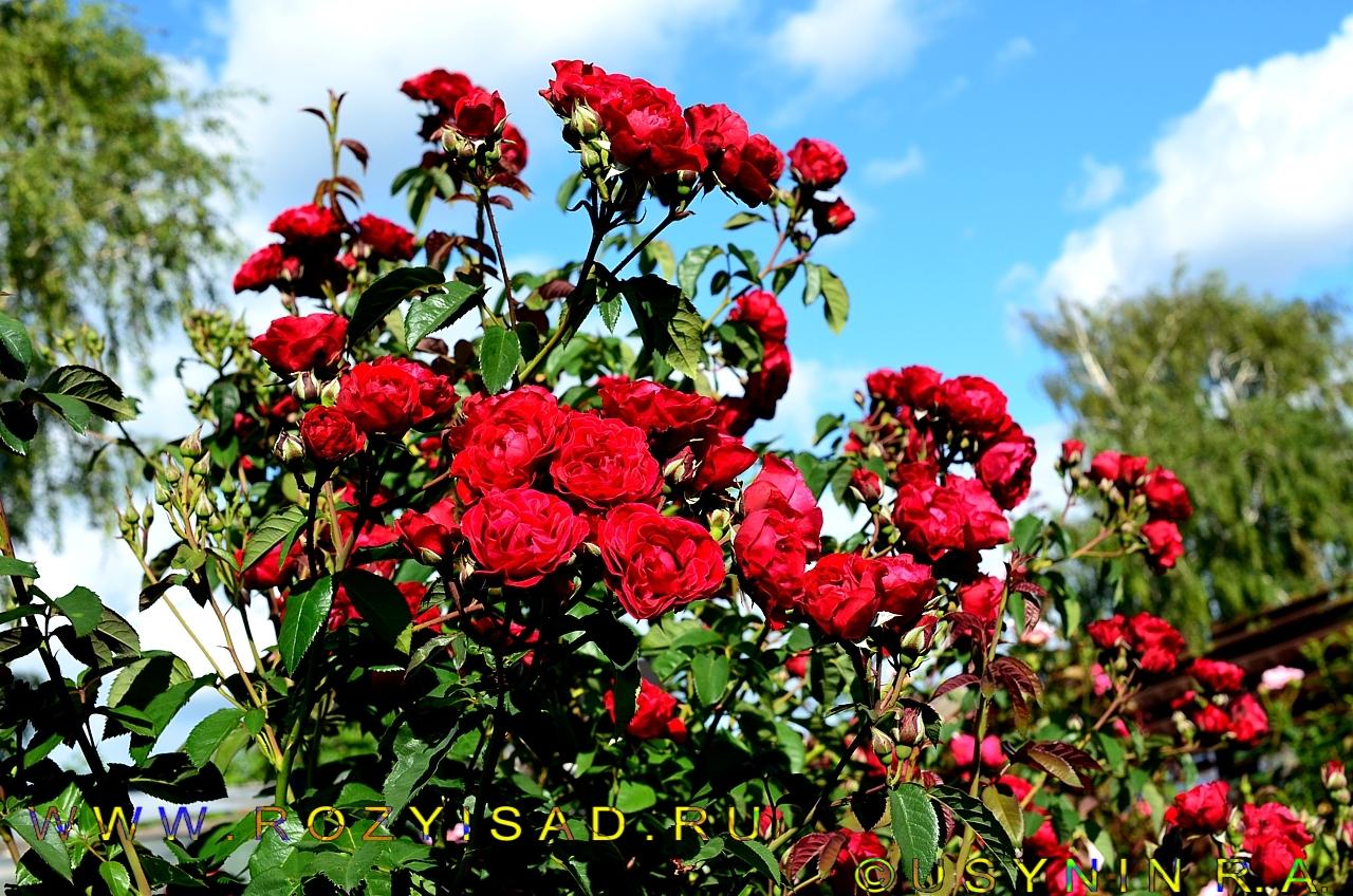 Розы для рассады оптом от производителя, г пермь