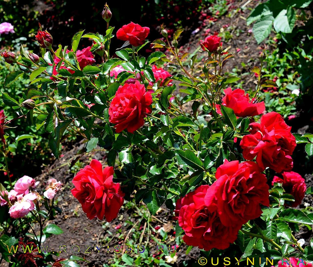 роза амбер фото