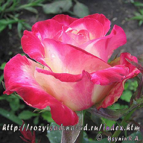 Розы меняющие цвет