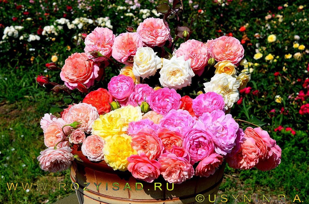 Плетистая роза дельбар 4