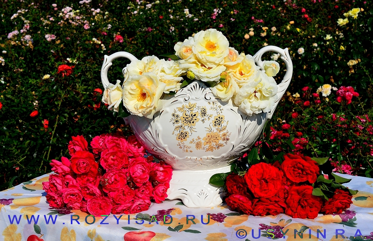 Плетистая роза дельбар 3