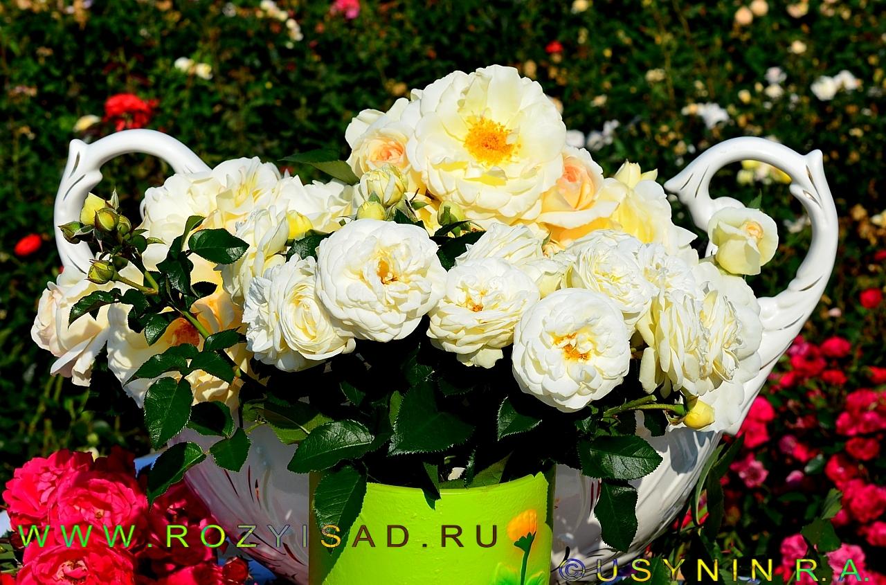 Шнеевальцер роза плетистая 4
