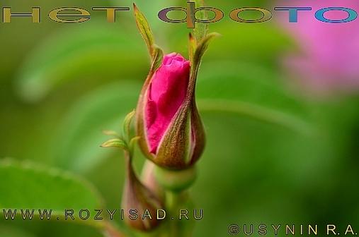 Роза Soul