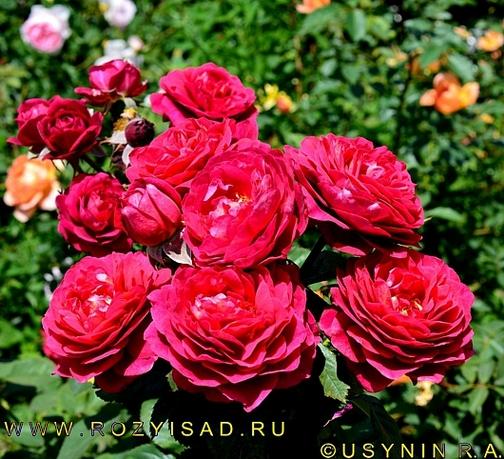 саженец розы Бисантенэр двухлетка