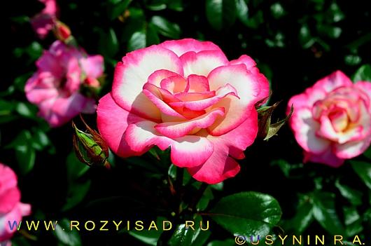 роза Хендель с красной каймой