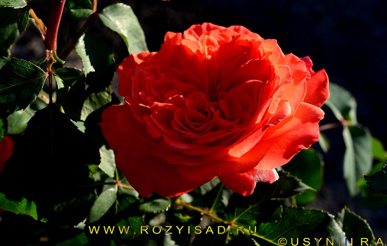 Фото цветка Салита в роспуске